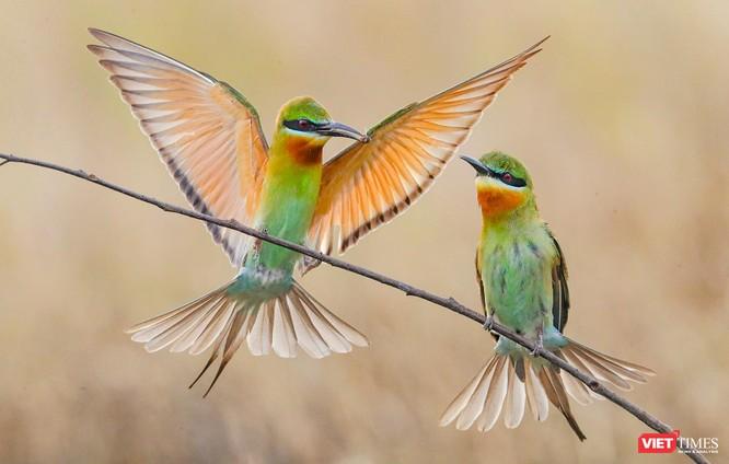 Ảnh: Độc đáo mùa chim trảu ghép đôi giữa lòng Đà Nẵng ảnh 19