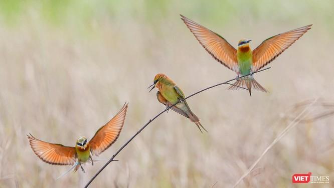 Ảnh: Độc đáo mùa chim trảu ghép đôi giữa lòng Đà Nẵng ảnh 6