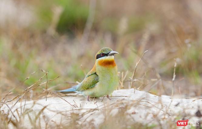Ảnh: Độc đáo mùa chim trảu ghép đôi giữa lòng Đà Nẵng ảnh 29