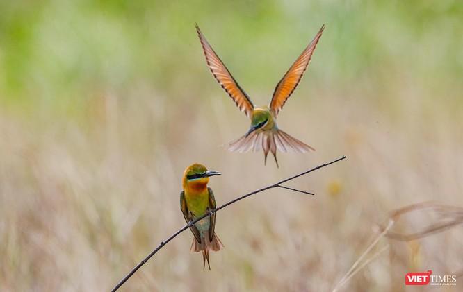 Ảnh: Độc đáo mùa chim trảu ghép đôi giữa lòng Đà Nẵng ảnh 11