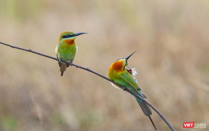 Ảnh: Độc đáo mùa chim trảu ghép đôi giữa lòng Đà Nẵng ảnh 2