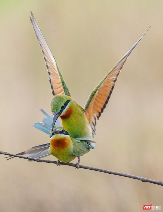 Ảnh: Độc đáo mùa chim trảu ghép đôi giữa lòng Đà Nẵng ảnh 14