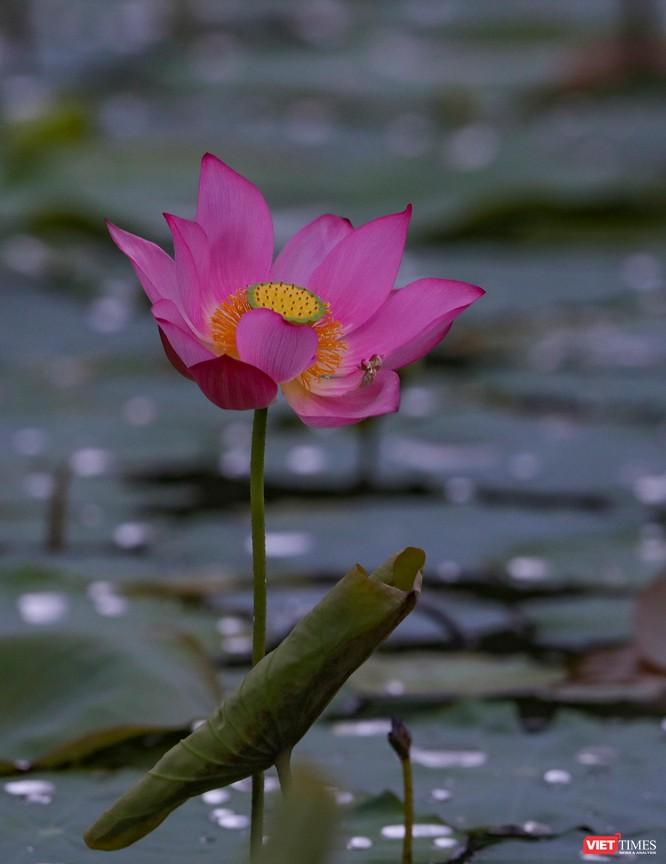 Ảnh: Vẻ đẹp khó cưỡng của đầm sen lớn Trà Lý ở Quảng Nam ảnh 26