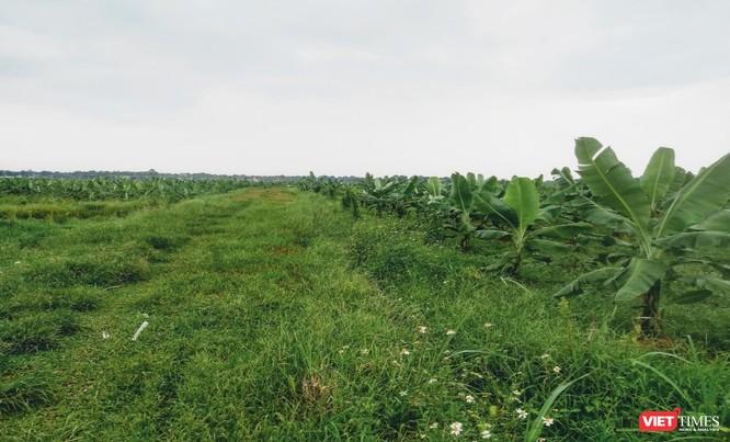 Cánh đồng chuối xuất khẩu HTX Nông nghiệp Công nghệ Cao Hòa Lạc. Ảnh: