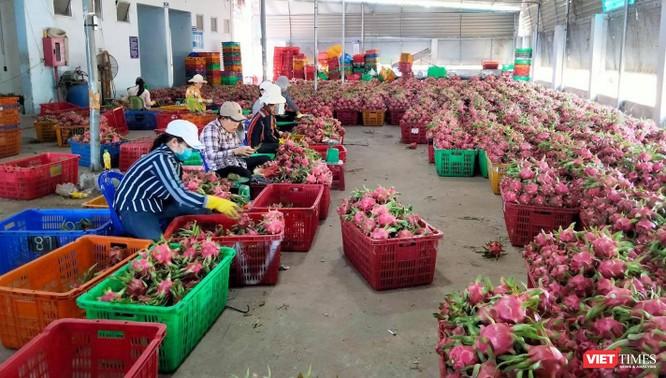 Thách thức sau bảo hộ chỉ dẫn địa lý thanh long Bình Thuận vào thị trường Nhật Bản ảnh 1