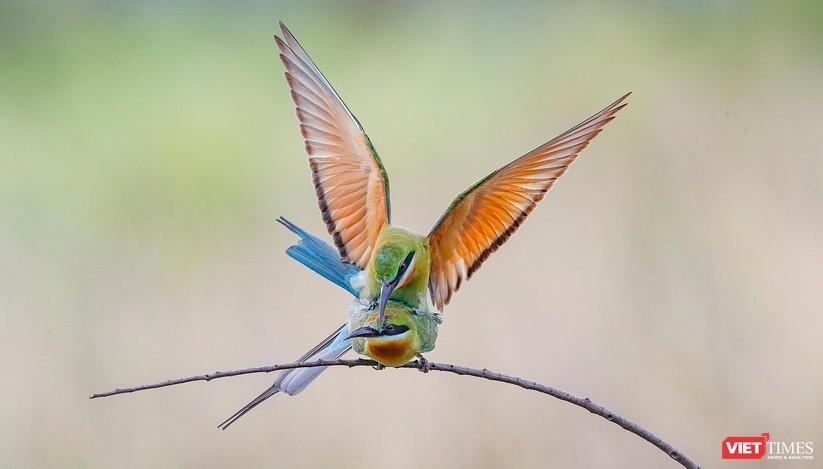 Ảnh: Độc đáo mùa chim trảu ghép đôi giữa lòng Đà Nẵng ảnh 22