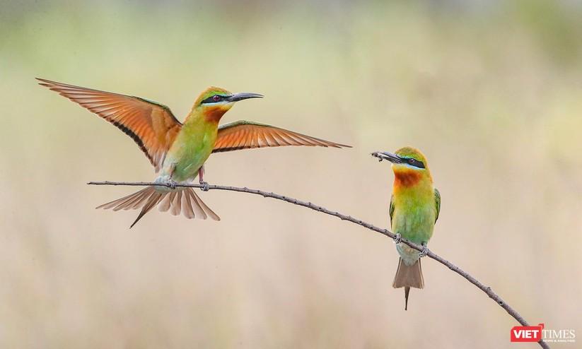 Ảnh: Độc đáo mùa chim trảu ghép đôi giữa lòng Đà Nẵng ảnh 8