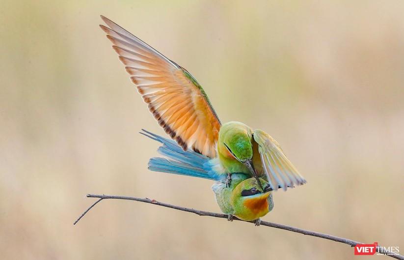 Ảnh: Độc đáo mùa chim trảu ghép đôi giữa lòng Đà Nẵng ảnh 16