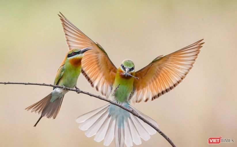 Ảnh: Độc đáo mùa chim trảu ghép đôi giữa lòng Đà Nẵng ảnh 18