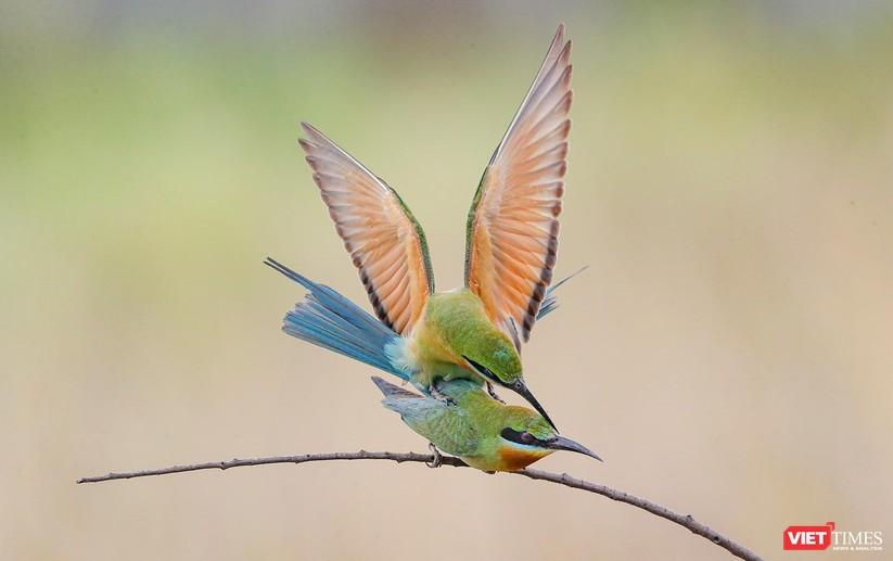 Ảnh: Độc đáo mùa chim trảu ghép đôi giữa lòng Đà Nẵng ảnh 27
