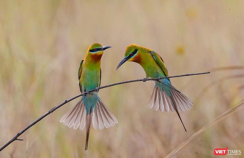 Ảnh: Độc đáo mùa chim trảu ghép đôi giữa lòng Đà Nẵng ảnh 3