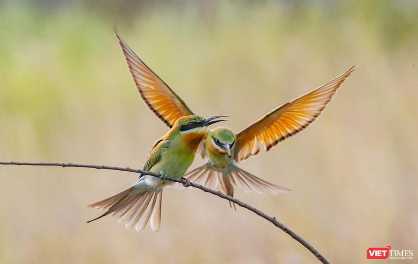 Ảnh: Độc đáo mùa chim trảu ghép đôi giữa lòng Đà Nẵng ảnh 25