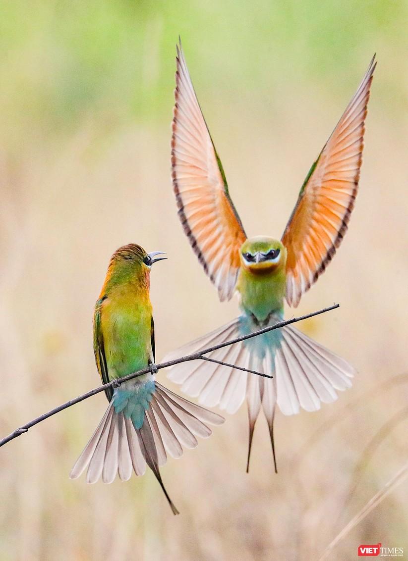 Ảnh: Độc đáo mùa chim trảu ghép đôi giữa lòng Đà Nẵng ảnh 26