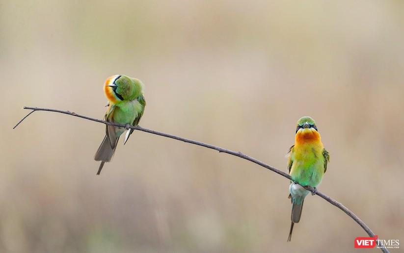Ảnh: Độc đáo mùa chim trảu ghép đôi giữa lòng Đà Nẵng ảnh 4