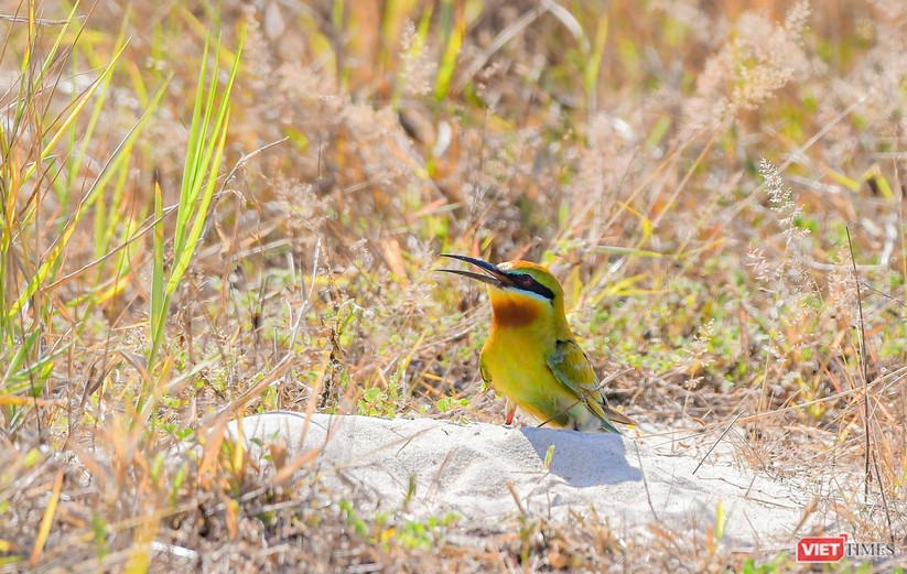 Ảnh: Độc đáo mùa chim trảu ghép đôi giữa lòng Đà Nẵng ảnh 28