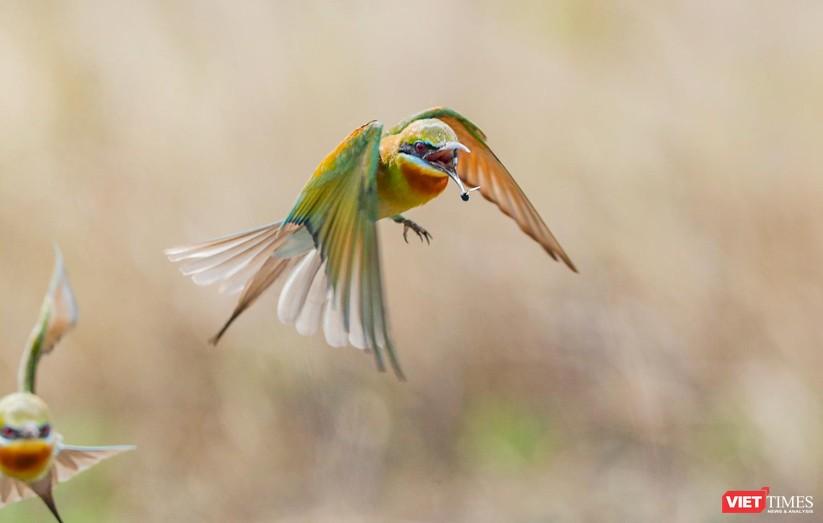 Ảnh: Độc đáo mùa chim trảu ghép đôi giữa lòng Đà Nẵng ảnh 10