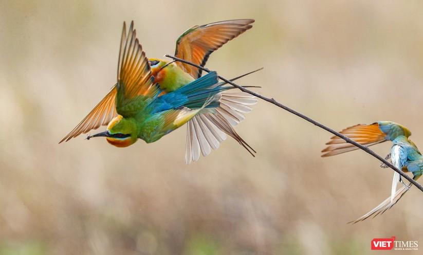 Ảnh: Độc đáo mùa chim trảu ghép đôi giữa lòng Đà Nẵng ảnh 7