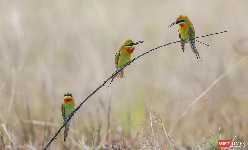 Ảnh: Độc đáo mùa chim trảu ghép đôi giữa lòng Đà Nẵng ảnh 1