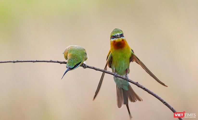 Ảnh: Độc đáo mùa chim trảu ghép đôi giữa lòng Đà Nẵng ảnh 13