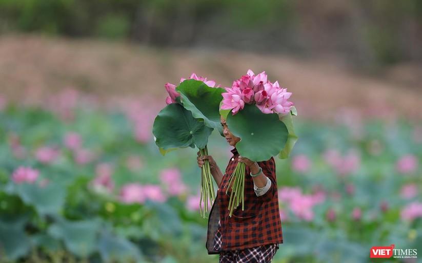 Ảnh: Vẻ đẹp khó cưỡng của đầm sen lớn Trà Lý ở Quảng Nam ảnh 28