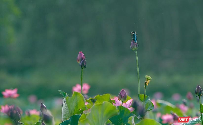 Ảnh: Vẻ đẹp khó cưỡng của đầm sen lớn Trà Lý ở Quảng Nam ảnh 5