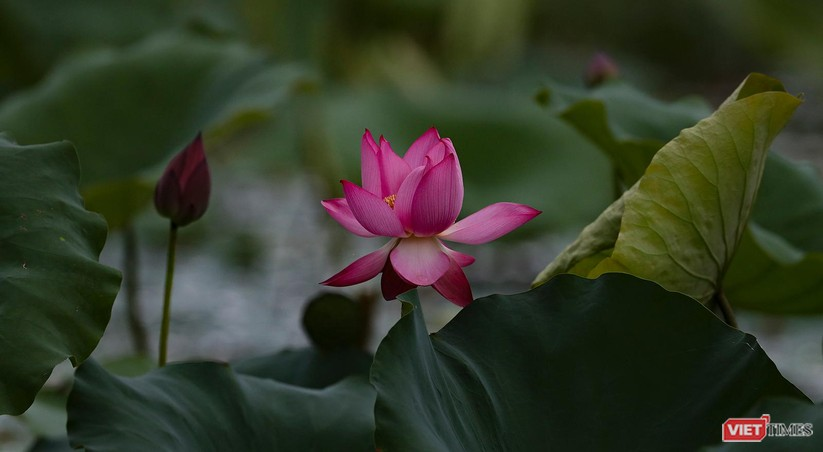 Ảnh: Vẻ đẹp khó cưỡng của đầm sen lớn Trà Lý ở Quảng Nam ảnh 24