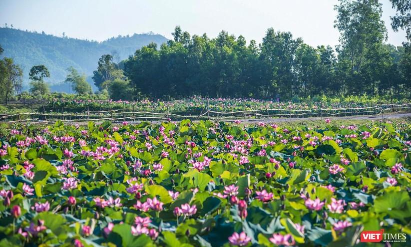 Ảnh: Vẻ đẹp khó cưỡng của đầm sen lớn Trà Lý ở Quảng Nam ảnh 1