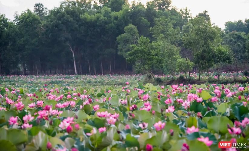 Ảnh: Vẻ đẹp khó cưỡng của đầm sen lớn Trà Lý ở Quảng Nam ảnh 30