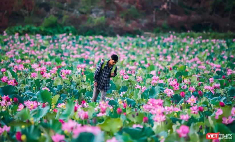 Ảnh: Vẻ đẹp khó cưỡng của đầm sen lớn Trà Lý ở Quảng Nam ảnh 18