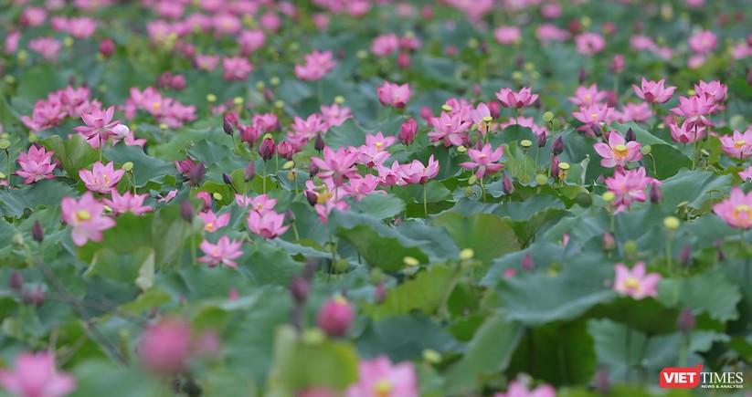 Ảnh: Vẻ đẹp khó cưỡng của đầm sen lớn Trà Lý ở Quảng Nam ảnh 2