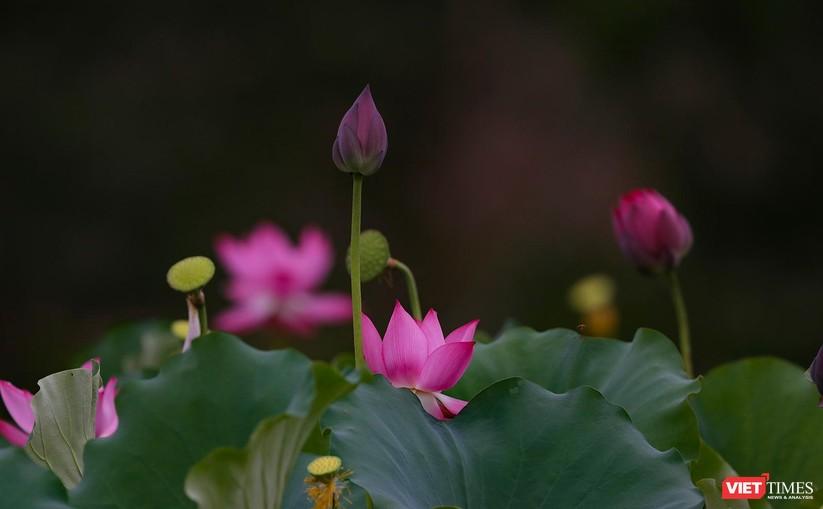 Ảnh: Vẻ đẹp khó cưỡng của đầm sen lớn Trà Lý ở Quảng Nam ảnh 25