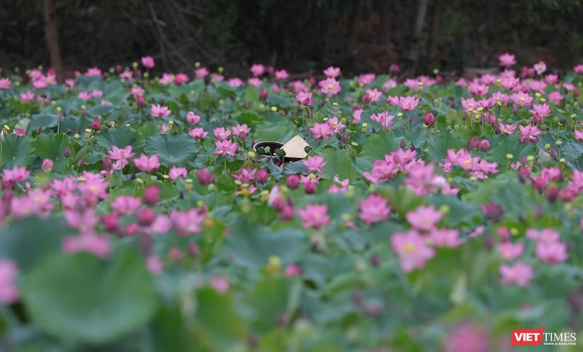 Ảnh: Vẻ đẹp khó cưỡng của đầm sen lớn Trà Lý ở Quảng Nam ảnh 16