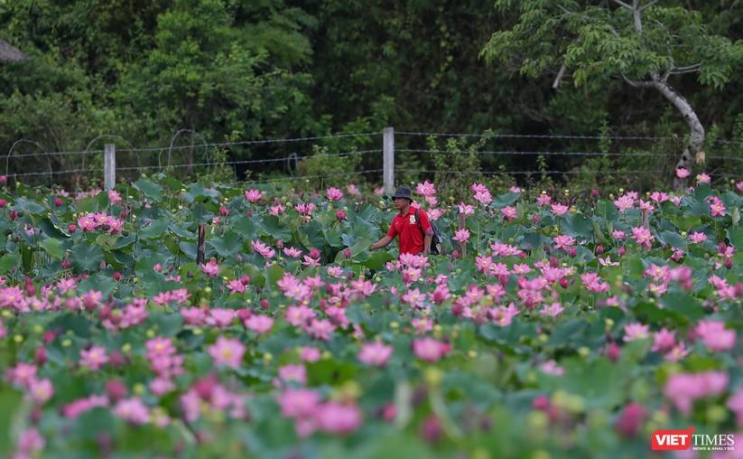 Ảnh: Vẻ đẹp khó cưỡng của đầm sen lớn Trà Lý ở Quảng Nam ảnh 17