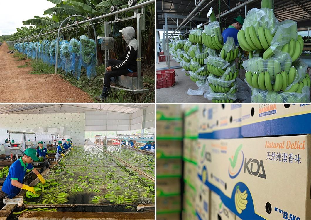 Hình ảnh trang trại chuối KD Green Farm của Tập đoàn KDI Holdings.