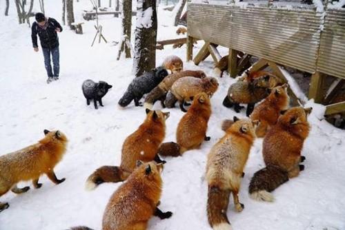 """Ngôi làng """"cáo"""" kỳ lạ ở Nhật Bản ảnh 6"""