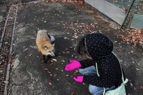 """Ngôi làng """"cáo"""" kỳ lạ ở Nhật Bản ảnh 8"""