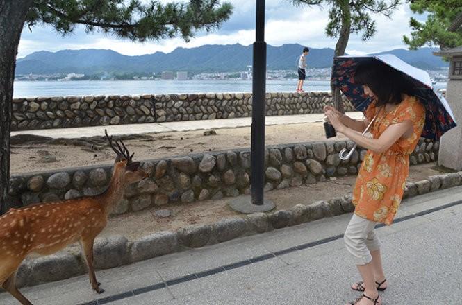 """Những """"công dân"""" hươu trên đảo Miyajima ảnh 1"""