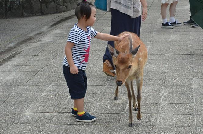"""Những """"công dân"""" hươu trên đảo Miyajima ảnh 3"""