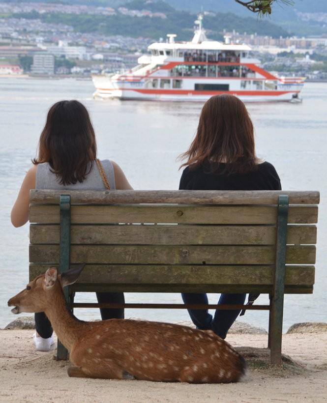 """Những """"công dân"""" hươu trên đảo Miyajima ảnh 7"""