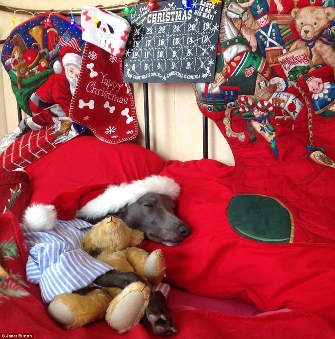 Chùm ảnh hot về chú chó bắt chước bài phát biểu đêm Noel ảnh 5