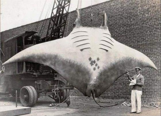A giant Manta Ray