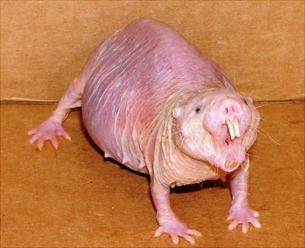 Chuột trũi trần