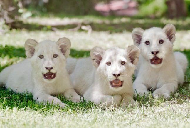 Top 10 vật nuôi đắt giá nhất thế giới ảnh 5