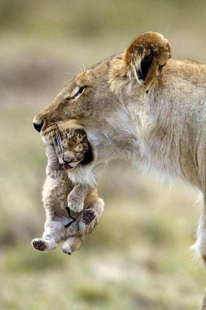 15 hình ảnh động vật chứng minh không có gì cao cả bằng tình yêu của người mẹ ảnh 11