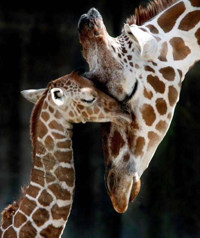 15 hình ảnh động vật chứng minh không có gì cao cả bằng tình yêu của người mẹ ảnh 14