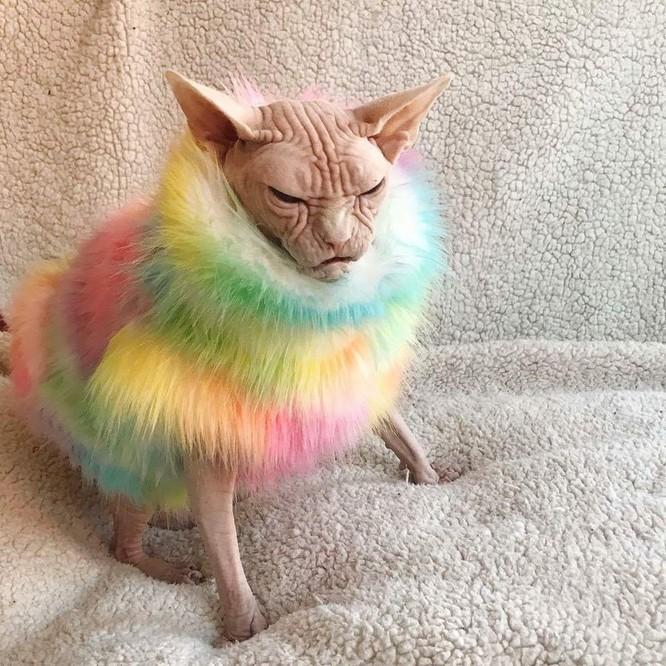 """20 hình ảnh chứng minh mèo Sphynx không chỉ """"mát mẻ"""" mà còn cực kỳ ngầu ảnh 14"""