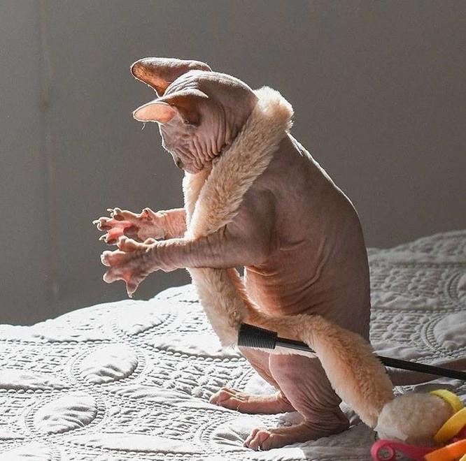 """20 hình ảnh chứng minh mèo Sphynx không chỉ """"mát mẻ"""" mà còn cực kỳ ngầu ảnh 6"""