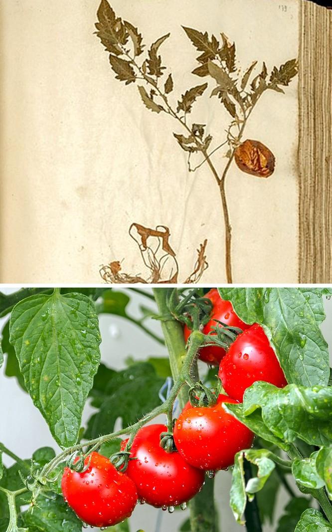 Trái cây xưa và nay khác nhau thế nào? ảnh 7