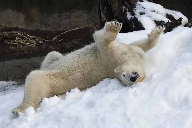 Chùm ảnh cảm động của chú gấu bắc cực tại Sở thú San Diego lần đầu tiên nhìn thấy tuyết ảnh 8