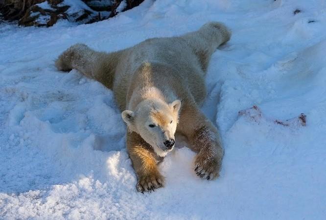 Chùm ảnh cảm động của chú gấu bắc cực tại Sở thú San Diego lần đầu tiên nhìn thấy tuyết ảnh 6